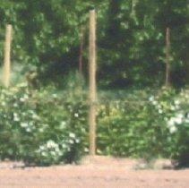 Image of Raspberries in bloom, Hitz Farm, Elliott Prairie Rd. in 2007 - 2016FIC3357