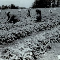 Image of Strawberry pickers abt.1910 and abt. 2010 - 2016FIC3821