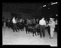 Image of Cattle Judging at State Fair