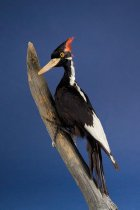 Image of Ivory-billed Woodpecker