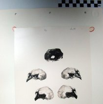 Image of 2010.39 - Photograph of negative inferior view 3 skulls (four halves of vertically bisected skulls and one complete skull)