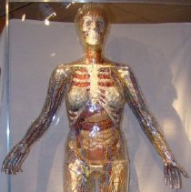 Image of 2002.29 - Anatomical Mannequin