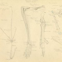 Image of 2008.80 - Sketch of Bones of a Fruit Bat, Grey Kangaroo, and Opossum