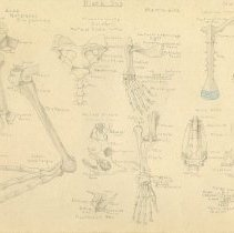 Image of 2008.80 - Sketch of the Bones of a Bat, Platypus, and Penguin