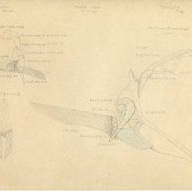 Image of 2008.80 - Sketch of Bones of an Atlantic Cod and Perch