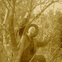 Image of Andrew Taylor Still Climbing Pear Tree