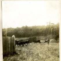 Image of 2012.95 - Cattle in Field