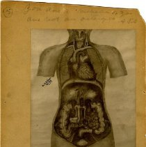 Image of 1976.131 - Anatomical Drawing of the Abdomen and Chest