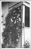 Image of Roses by House - Print, Photographic