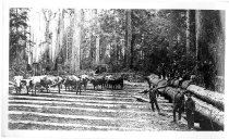 Image of Timber Workers in Forest - Print, Photographic