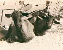 Image of X.1209.2 - Goats at Fort Wool