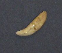 Image of 2015.11.332 - Animal tooth