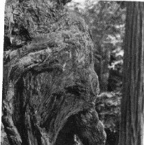 Image of Old Man Burl