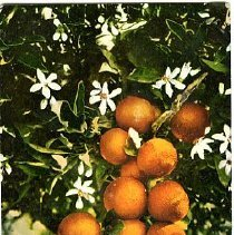 Image of Oranges from California