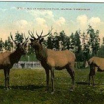 Image of Elk at Woodland Park, Seattle