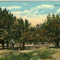 Image of Cherry Orchard, Oregon