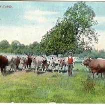 Image of Oregon Beef Cattle