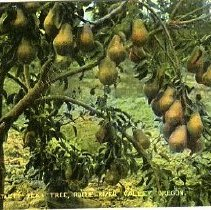 Image of Bartlett Pear Tree, Rogue River
