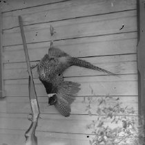 Image of GP4/5.80 - REMARKS:Pheasant and gun, Douglas Co. ca. 1920.