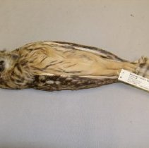 Image of I.20.82.7 - Short-eared Owl