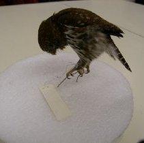 Image of I.30.80.15 - Northern Pygmy Owl