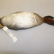 Image of II.11.83.41 - Green-winged Teal