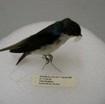 Image of II.17.83.52 - Tree Swallow