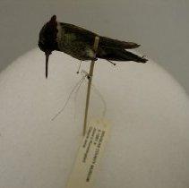 Image of II.1991.4 - Anna's Hummingbird