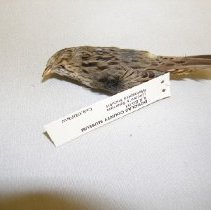 Image of II.8.80.61 - Lincoln's Sparrow