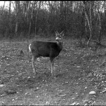 Image of LS42 - REMARKS:Deer standing in forest in Yoncalla, OR.