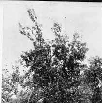 Image of N12001 - REMARKS:Leopold Weber (George Weber's brother) standing in an orchard. He was visiting on vacation from Germany, ca. 1899.