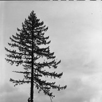 """Image of N14448 - REMARKS:Topping a tree, ID Leonard """"Pete"""" Barge of Sutherland, June 14, 1955."""