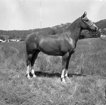 Image of N15304 - REMARKS:Horse posing in field. Douglas County, OR. ca. 1950's
