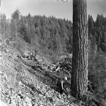 Image of N15353 - REMARKS:Logger falling tree with chain saw. Douglas County, OR. ca. 1950's