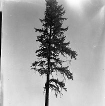 Image of Logger climbing tree