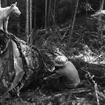 Image of N15402 - REMARKS:Choker setter securing log, with dog watching. Douglas County, OR, 1959.
