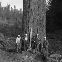 Image of N15552 - REMARKS:Loggers standing at base of tree about to be cut, with large saw. Douglas County, OR, ca 1950s.  OBJECT DATE:ca 1950s