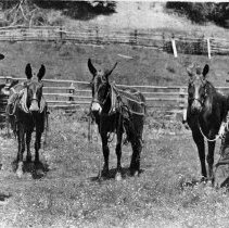 Image of N2293 - REMARKS:Frank Howendobler and ? Stephens Ranch, four miles above Tiller, Ore. ca. 1909. Shows them with Howendobler and Stephens with two donkeys and one horse.  OBJECT DATE:ca. 1909
