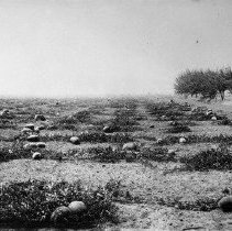 Image of N5862 - COUNT:2  REMARKS:Watermelons growing in a field, Douglas County. ca. 1925.  OBJECT DATE:ca. 1925