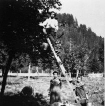 Image of N5907 - REMARKS:Harvesting apples at a ranch up Smith River. View shows hogs eating apples under tree.
