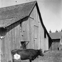 Image of Man milking a cow in front of a barn, ca. 1915.