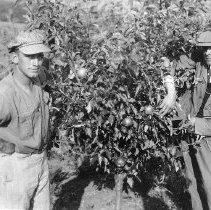 Image of Apple tree, Drain, OR