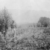 Image of Apple trees, Sunnydale Orchards