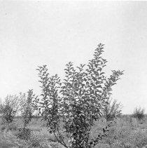 Image of Apple tree