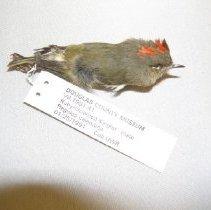 Image of VII.1991.41 - Ruby-crowned Kinglet