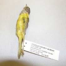 Image of VIII.1995.44 - MacGillivray's Warbler