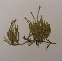 Image of H.1841 - Lycopodium annotinum
