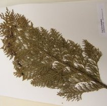 Image of H.L80 - Chamaecyparis lawsoniana