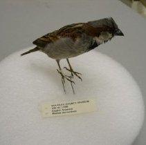 Image of VIII.35.1998 - English Sparrow