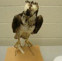 Image of X.18.82.106 - Osprey